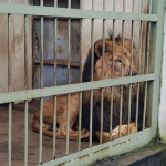 Manager of Lion Zoo is Sacked for Delay in a Project