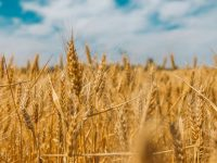 Ethiopia Aims To Make Wheat Import History
