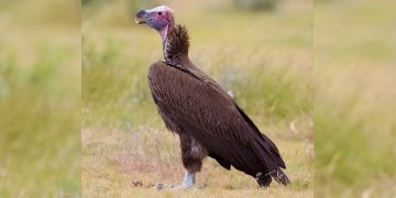 International Vulture Awareness Day Celebrated in Ethiopia