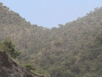 Ethiopia Launches Aerial Spray To Battle Desert Locust Infestation
