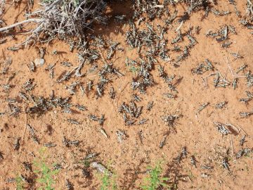 Locusts to Continue Attack till End of February, Says Agriculture Ministry
